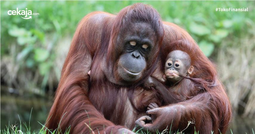Hari Orangutan Sedunia: Mengenal Lebih Jauh si Kera Besar di Habitatnya