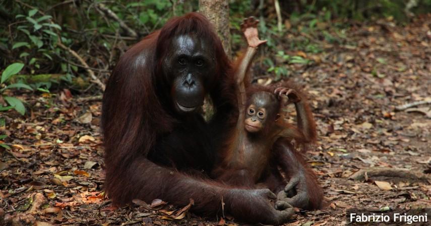 Berinteraksi dengan Orangutan di Habitatnya
