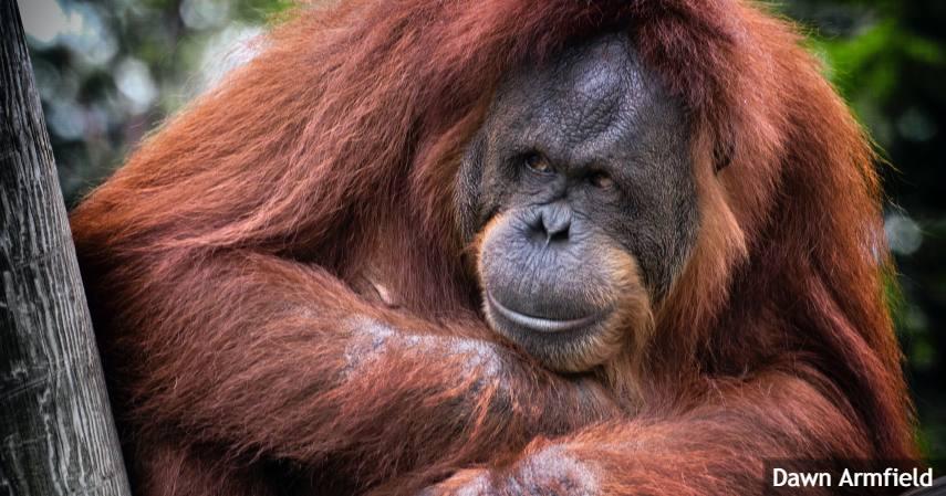 Jenis-jenis Orangutan di Indonesia