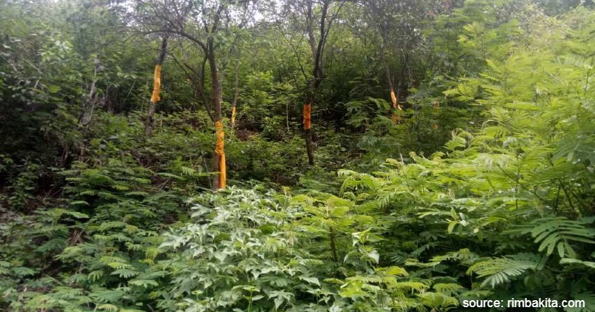 Pohon Cendana - Jenis Investasi Kayu Menggiurkan