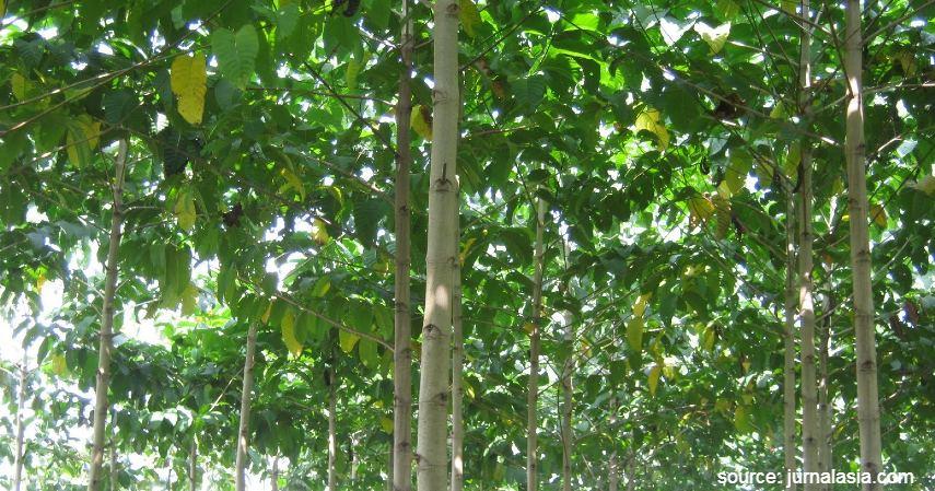 Pohon Jabon - Jenis Investasi Kayu Menggiurkan