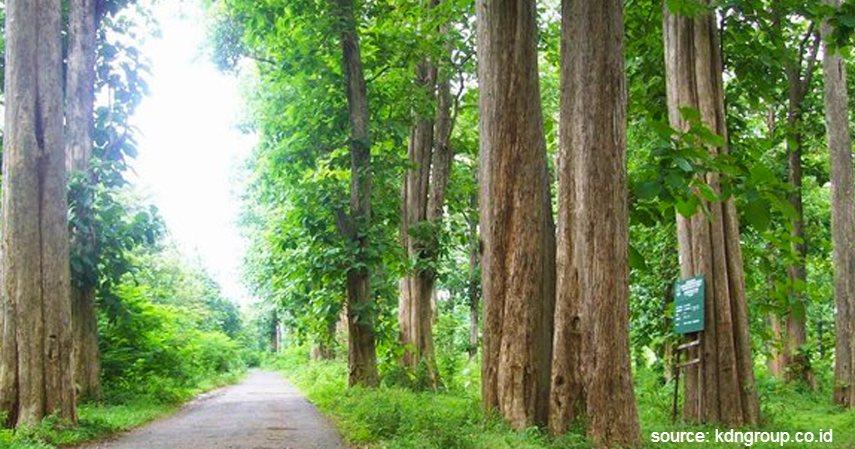 Pohon Jati - Jenis Investasi Kayu Menggiurkan