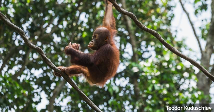 Populasi Orangutan di Indonesia