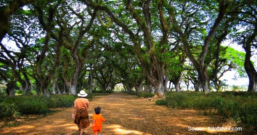 De Jawatan, hutan Alice in Wonderland - 5 Destinasi Wisata ala Luar Negeri di Banyuwangi.jpg