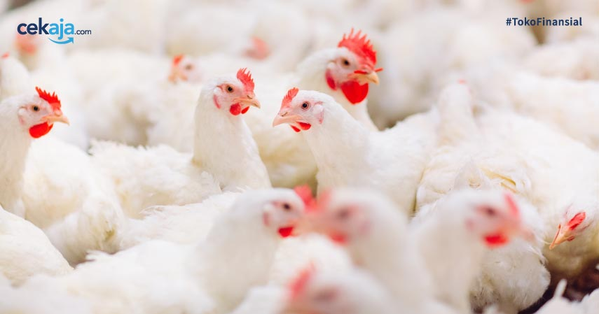 Bisnis Ternak Ayam Potong