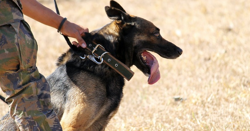 Jangan dilatih seperti anjing polisi - Cara menjinakkan anjing galak