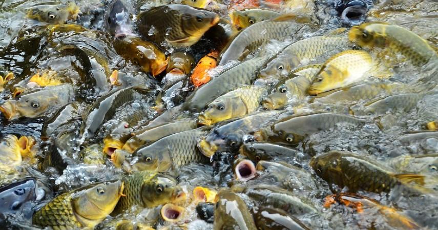 Makan ikan gabus - Insiden Penusukan Wiranto, Lakukan 7 Hal Ini Agar Luka Cepat Pulih!.jpg