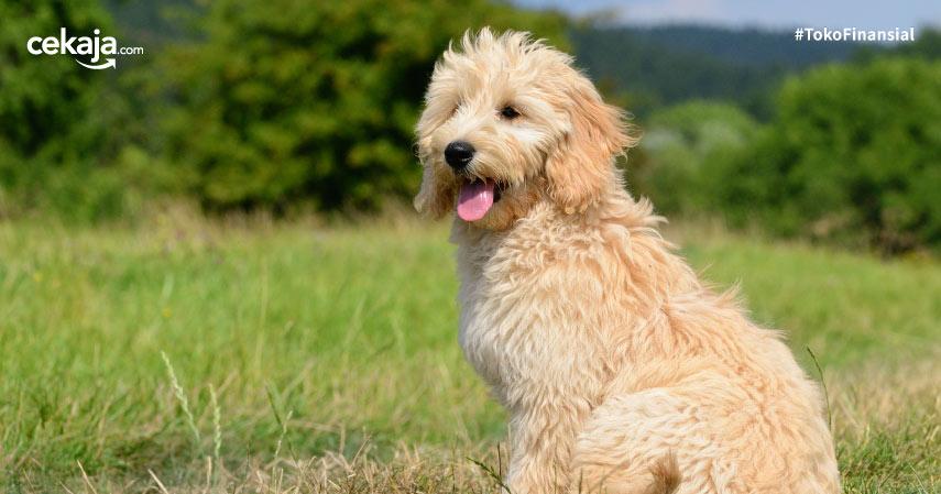 jenis anjing termahal di dunia