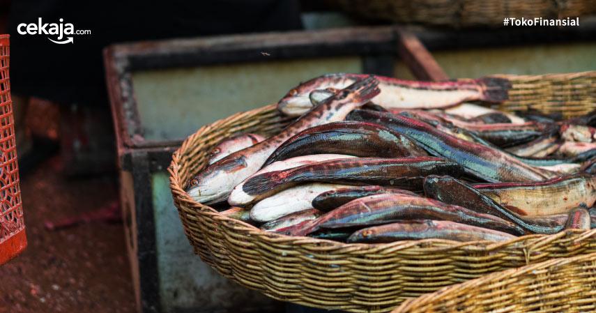 budidaya ternak ikan gabus