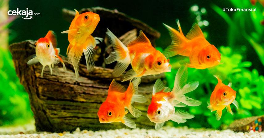 Cara Budidaya Ternak Ikan Hias Air Tawar di Aquarium