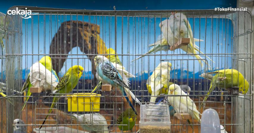 Cara Budidaya Ternak Lovebird Termudah Sampai Betelur dan Menetas