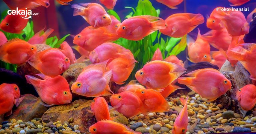 Budidaya Ternak Ikan Nila Termudah, Yuk Dicek!