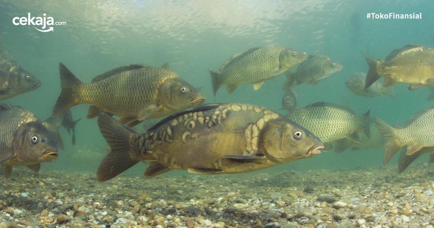 Cara Budidaya Ternak Ikan Gurame Hasil Menjanjikan