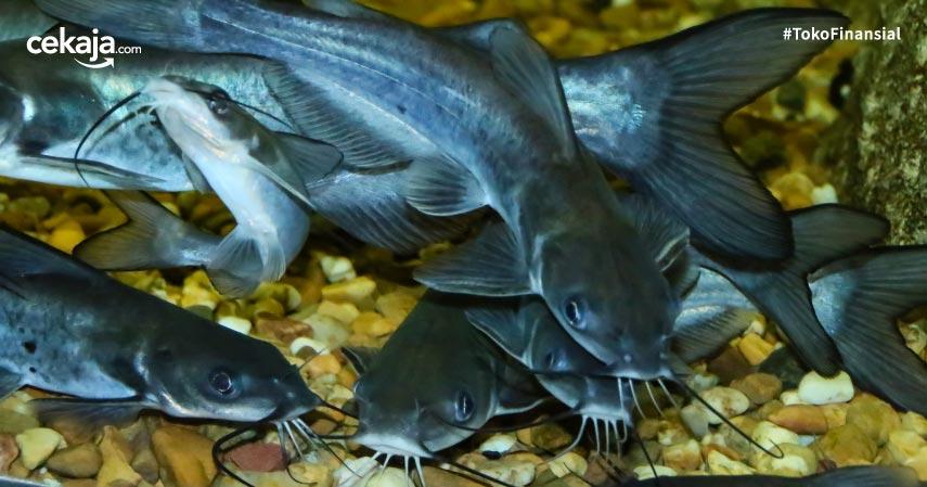 Mengenal Budidaya Ternak Ikan Lele Biofolk, Menguntungkan dan Bebas Bau Amis