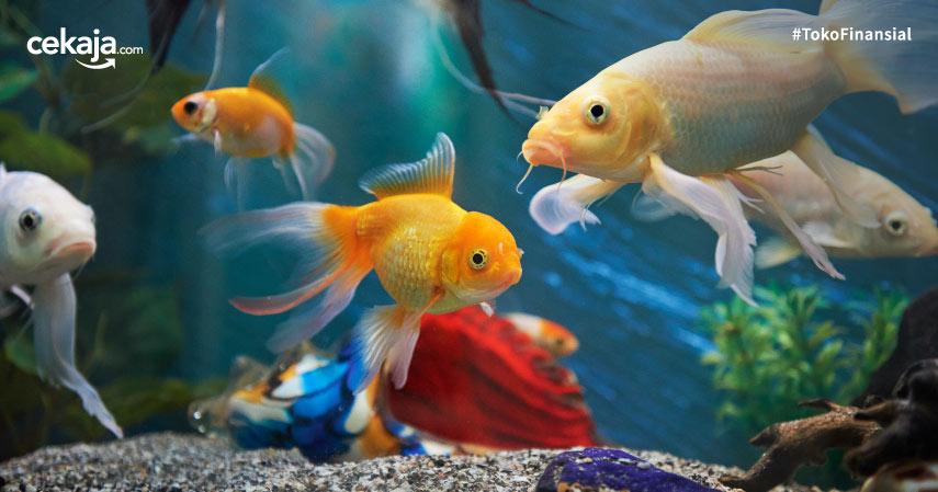 Daftar Ikan Hias Termahal di Dunia dan Tips Merawatnya