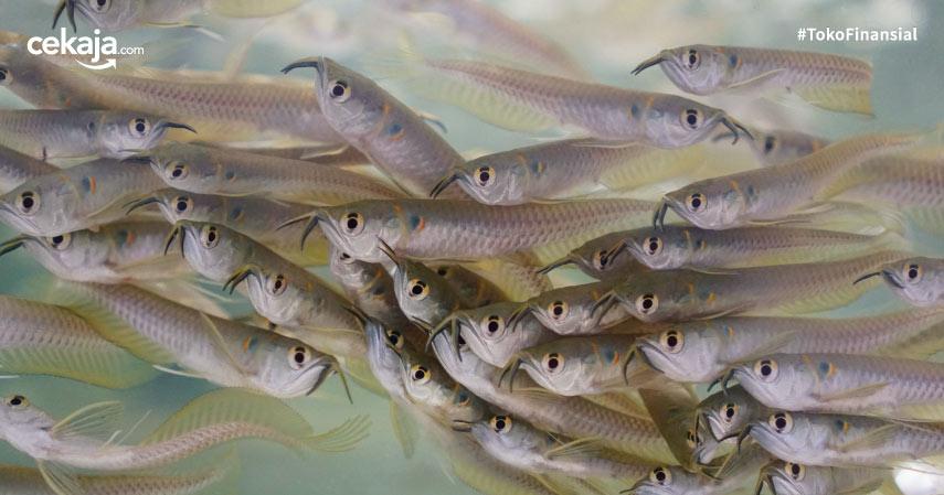 Cara Budidaya Ternak Ikan Arwana Untuk Pemula