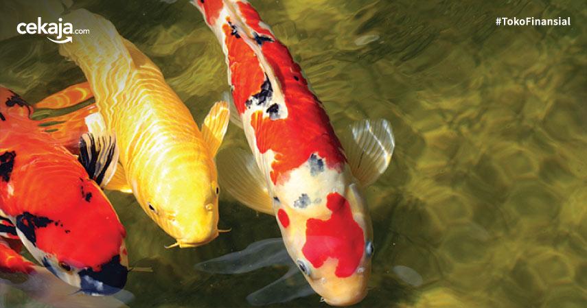 Langkah Mudah Budidaya Ternak Ikan Koi untuk Pemula