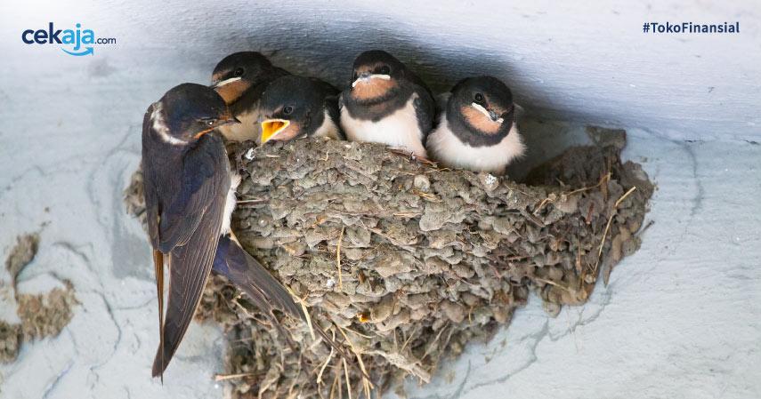 Cara Budidaya Ternak Burung Walet Paling Sederhana di Rumah