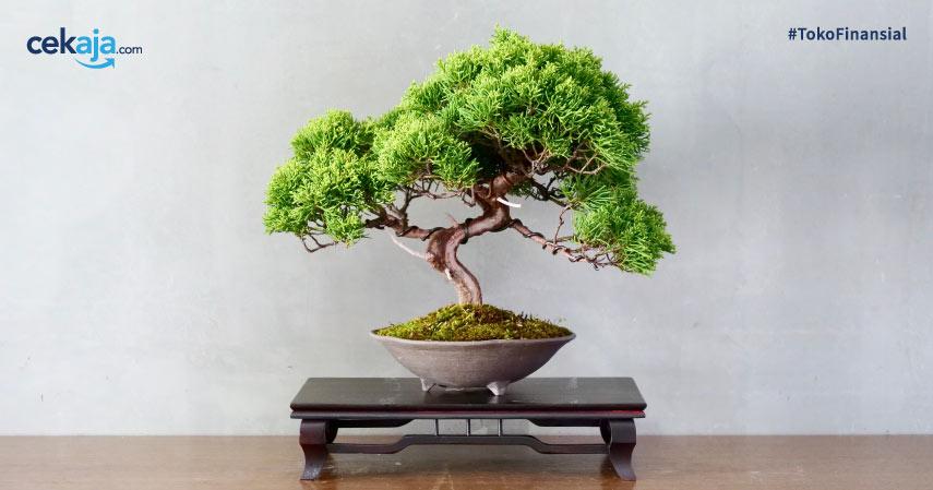 budidaya tanaman hias bonsai