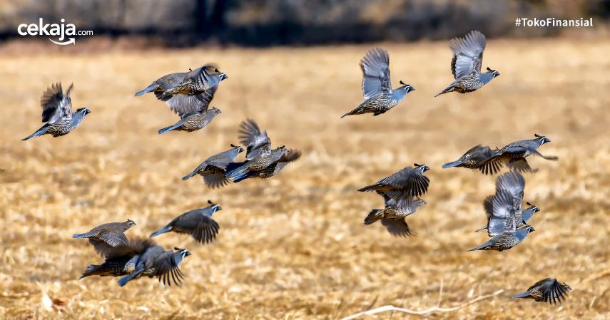 Cara Budidaya Ternak Burung Puyuh Paling Mudah Untuk Pemula