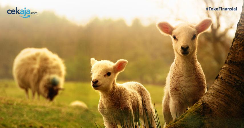 Cara Budidaya Ternak Domba Garut Yang Menguntungkan
