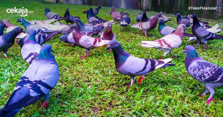 Cara Budidaya Ternak Burung Merpati Terlengkap Sampai Sukses Panen