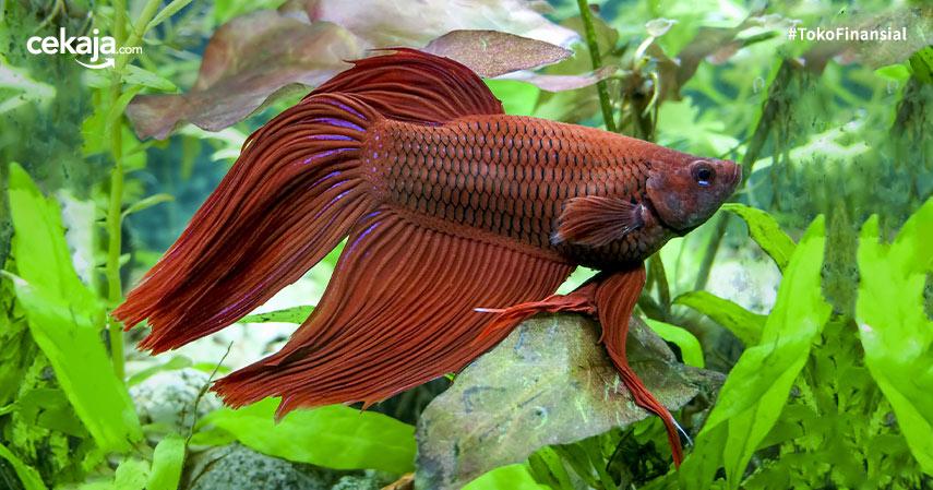 Cara Budidaya Ternak Ikan Cupang Rumahan