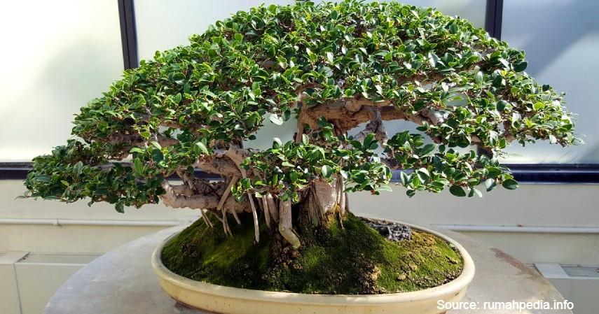 Bonsai Beringin - 10 Tanaman Hias Paling Populer untuk Melengkapi Dekoran Rumah