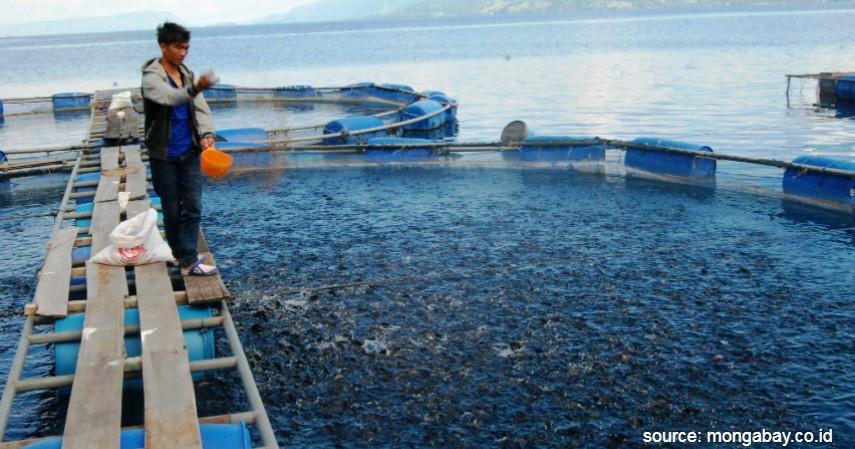 Budidaya Ikan Mas dan Pemeliharaannya - Budidaya Ternak Ikan Mas Termudah Bagi Pemula