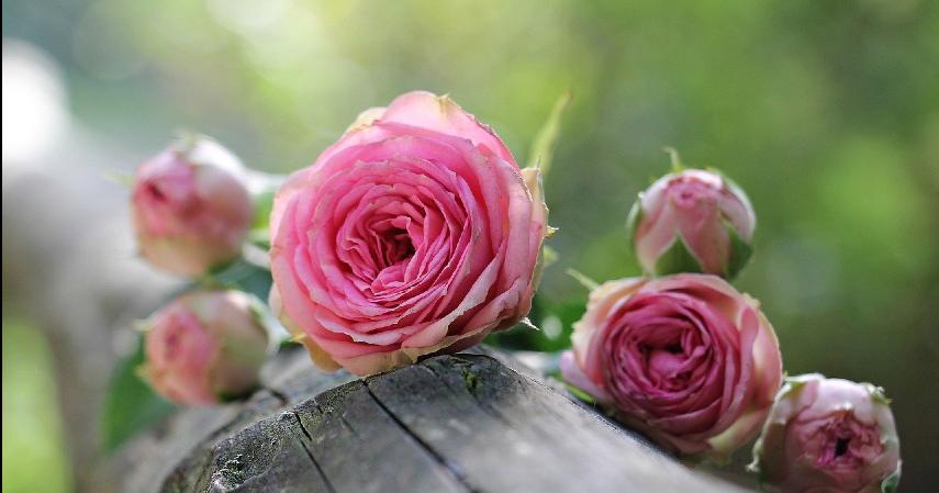 Bunga Mawar - 10 Tanaman Hias Paling Populer untuk Melengkapi Dekoran Rumah