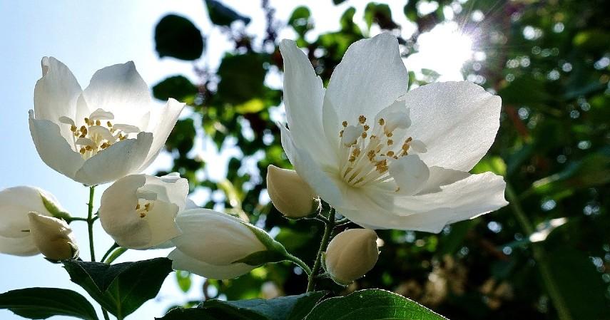 Bunga Melati - 10 Tanaman Hias Paling Populer untuk Melengkapi Dekoran Rumah