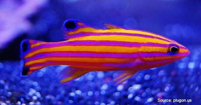Candy Basslet (Rp 14 juta) - Daftar Ikan Hias Termahal di Dunia dan Tips Merawatnya