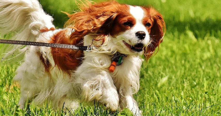 Cavalier King Charles Spaniel - Jenis Anjing Termahal di Dunia Beserta Biaya Perawatan yang Dibutuhkan