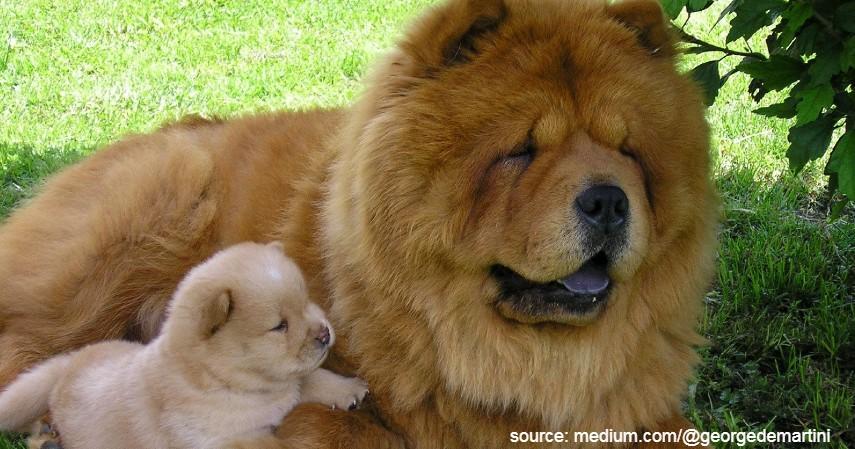 Chow Chow - Jenis Anjing Termahal di Dunia Beserta Biaya Perawatan yang Dibutuhkan