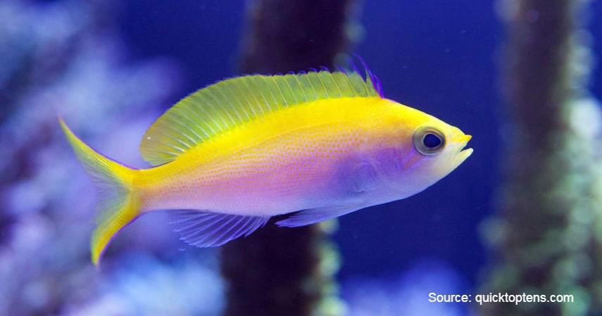 Golden Basslet (Rp 115 juta) - Daftar Ikan Hias Termahal di Dunia dan Tips Merawatnya