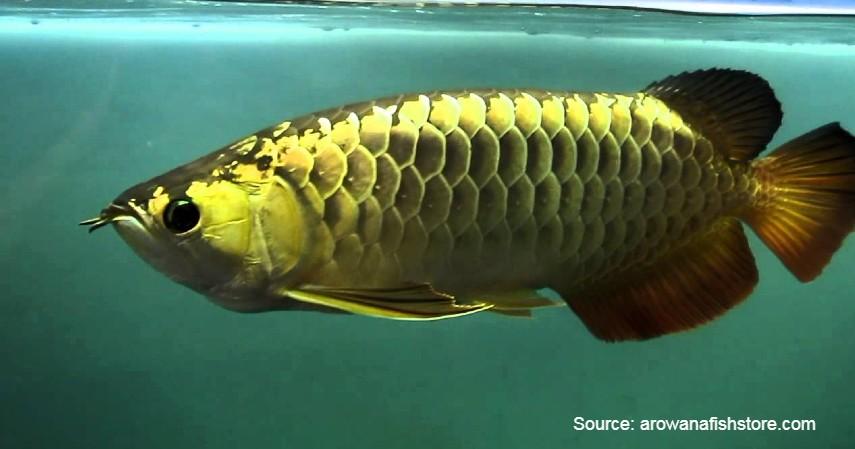 Clarion Angelfish (Rp 35 juta) - Daftar Ikan Hias Termahal di Dunia dan Tips Merawatnya