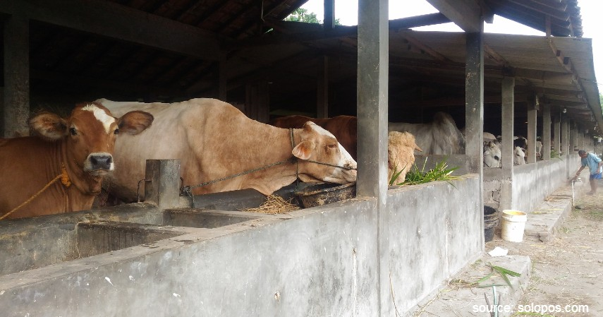 Kandang - Cara Budidaya Ternak Sapi Potong dengan Keuntungan Fantastis