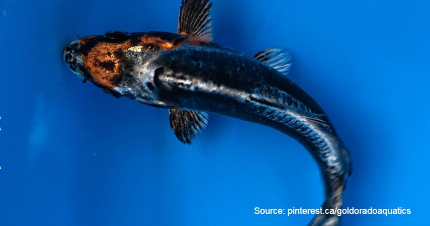 Koi Black Dragon (Rp 2,8 miliar) - Daftar Ikan Hias Termahal di Dunia dan Tips Merawatnya