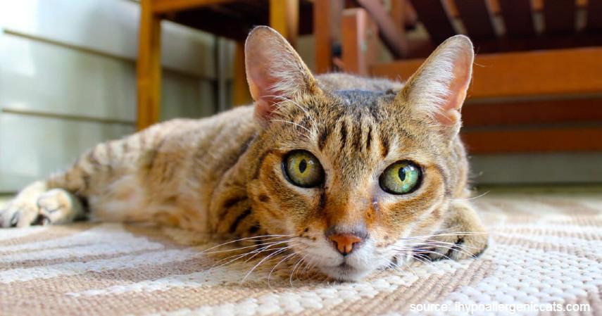Kucing Allerca Hypoallergenic - 15 Jenis Kucing Termahal di Dunia