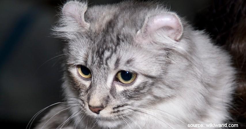 Kucing American Curl - 15 Jenis Kucing Termahal di Dunia