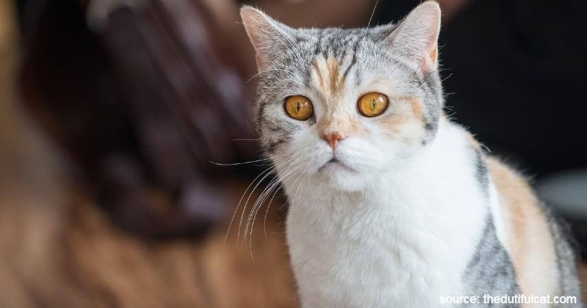 Kucing American Wirehair - 15 Jenis Kucing Termahal di Dunia