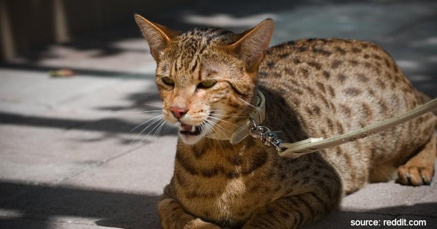 Kucing Ashera - 15 Jenis Kucing Termahal di Dunia