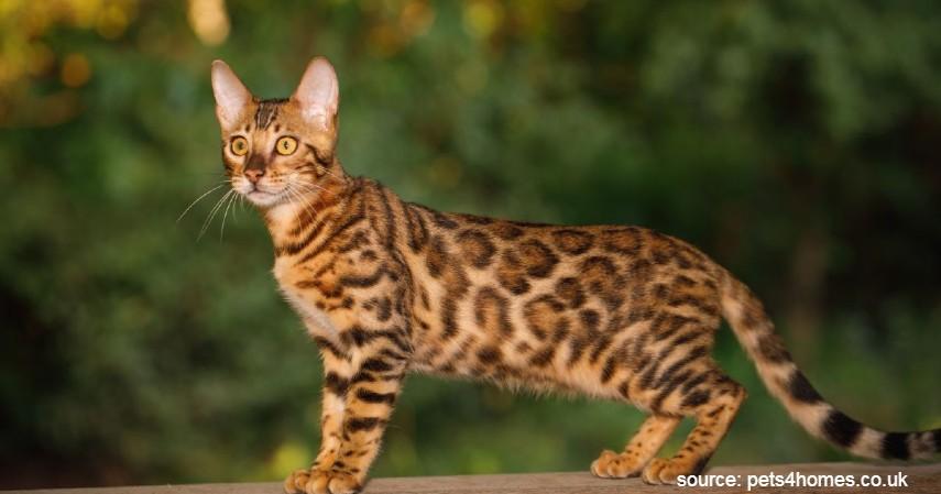 Kucing Bengal - 15 Jenis Kucing Termahal di Dunia