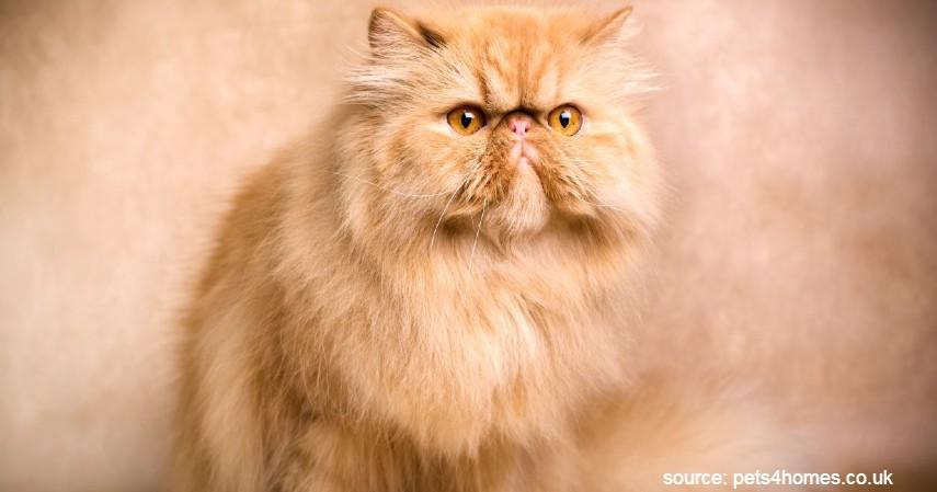 Kucing Persia - 15 Jenis Kucing Termahal di Dunia