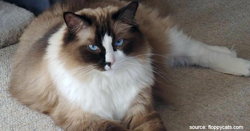 Kucing Ragdoll - 15 Jenis Kucing Termahal di Dunia