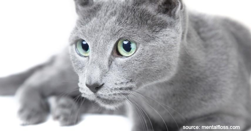 Kucing Russian Blue - 15 Jenis Kucing Termahal di Dunia
