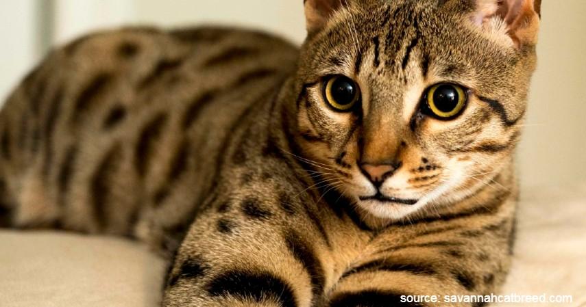 Kucing Savannah - 15 Jenis Kucing Termahal di Dunia