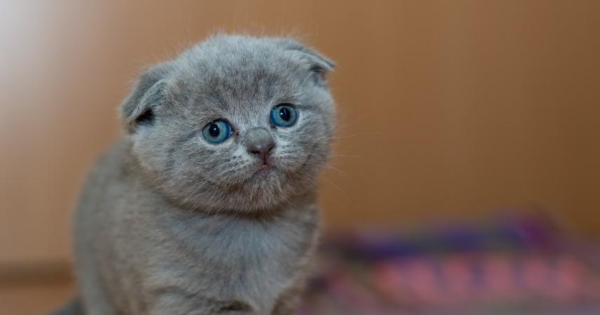 Kucing Scottish Fold - 15 Jenis Kucing Termahal di Dunia