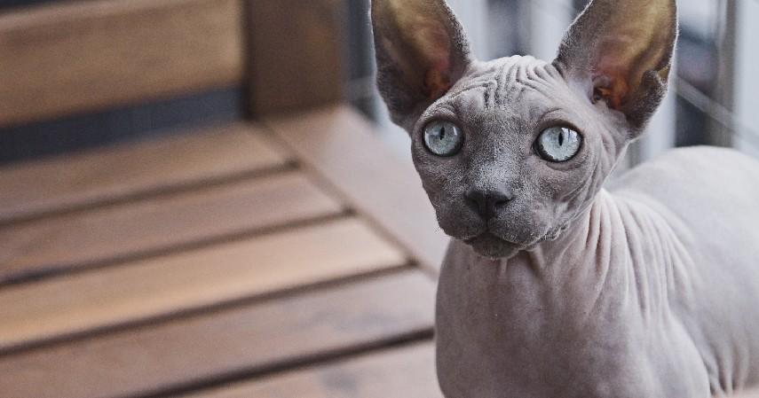 Kucing Sphynx - 15 Jenis Kucing Termahal di Dunia