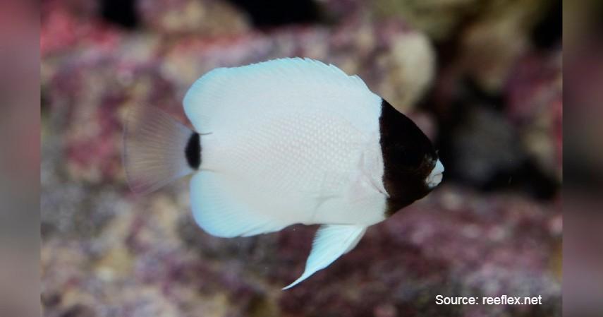 Masked Angelfish (Rp 285 juta) - Daftar Ikan Hias Termahal di Dunia dan Tips Merawatnya